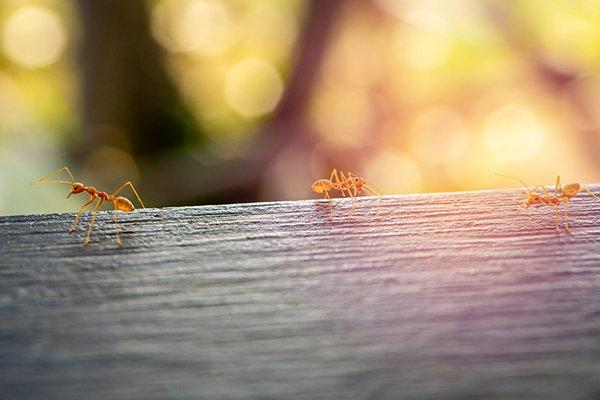 red imported fire ants crawling on a wooden fence