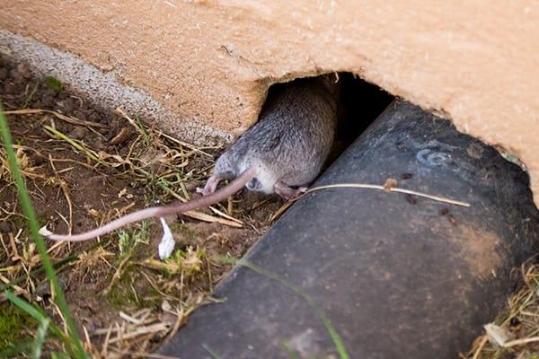 a rat slipping its way through a cracked foundation of s home in south carolina