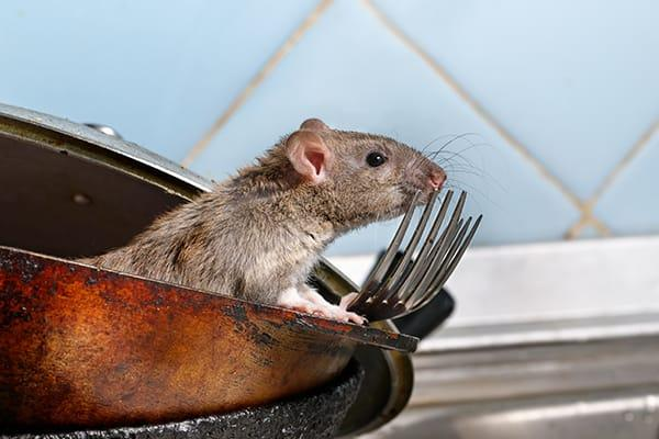 rat in commercial kitchen in south carolina