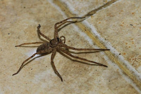 house spider on tile floor in lexington sc home