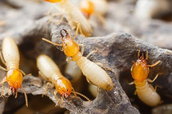 a large swarm of yellow tined termites damaging south carolina home
