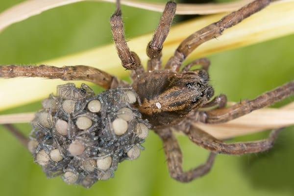 an intimidating looking wold spider crawling along a garden in south carolina fully prepared to protect the cluster of spider eggs she is carrying on her back