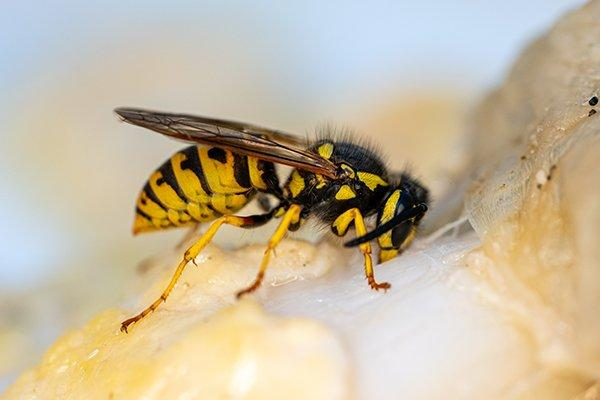 a yellow jacket wasp landing on fruit