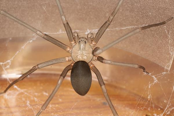 brown recluse spider that made a nest in a wooden chair