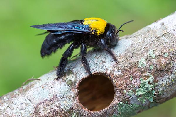 carpenter bee drilling a hole in a tree branch to make a nest