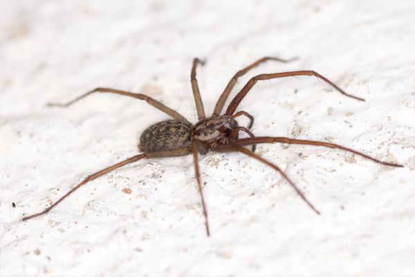 common house spider resting on a white painted rock surface