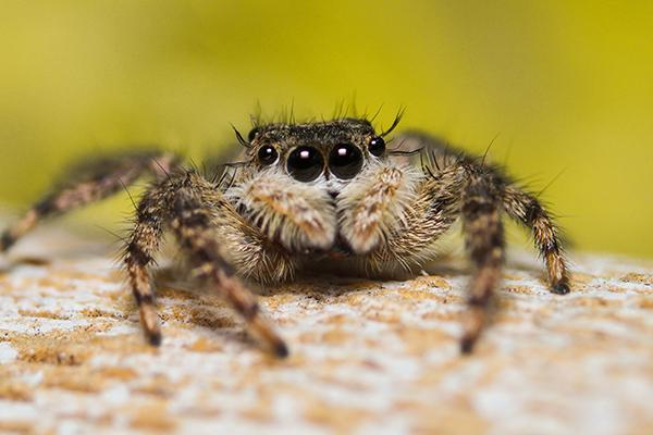 jumping spider on a rock ready to jump