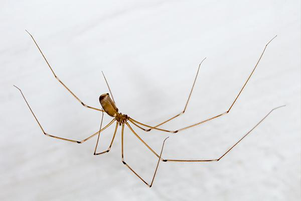 long bodied cellar spider resting in its web in a homes basement