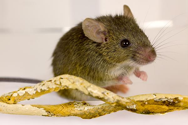 small house mouse sitting next to household electrical wires