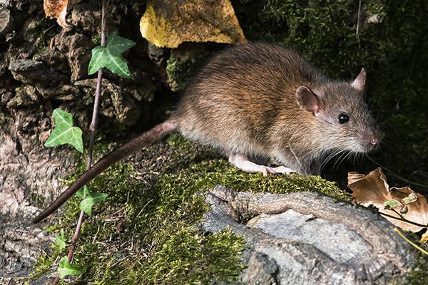large norway rat resting on a tree root outside a local home