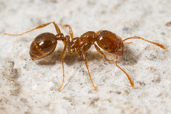 single red imported fire ant walking on a granite kitchen counter in batesburg sc