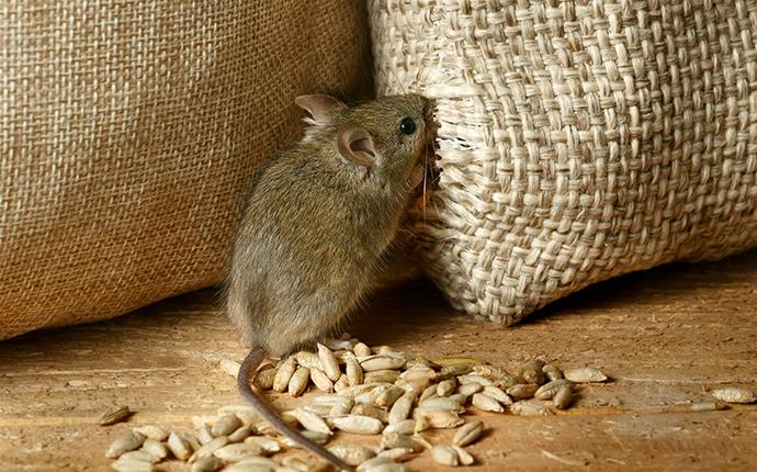 a mouse eating out of a bag of stored food