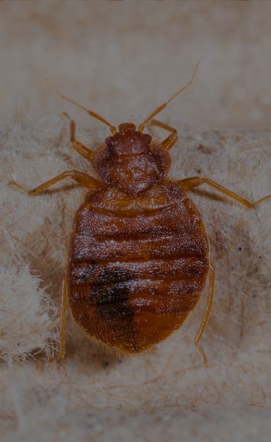 small brown bed bug on the floor of a irmo home