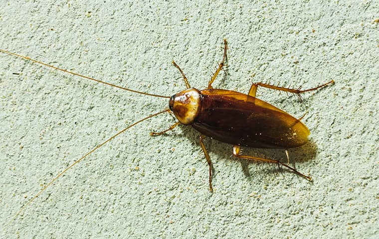 an asiain roach crawling on the wall of a florida home