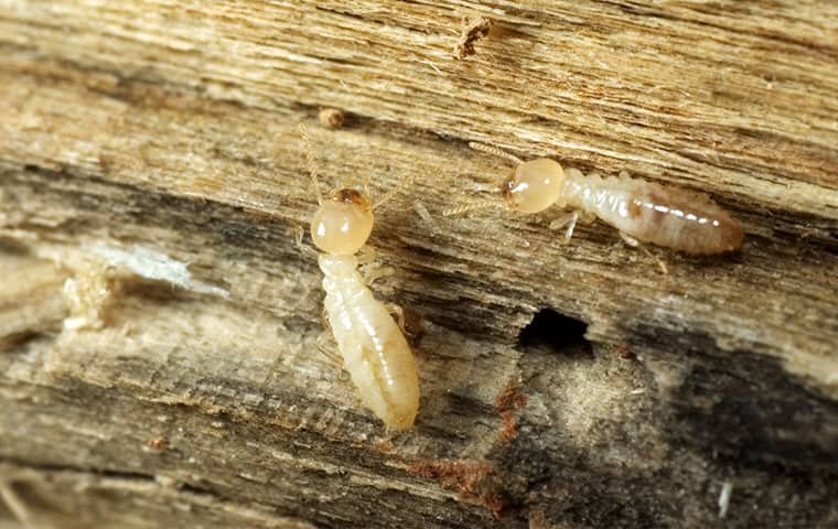 eastern subterranean termites on wood inside of a crestview florida home