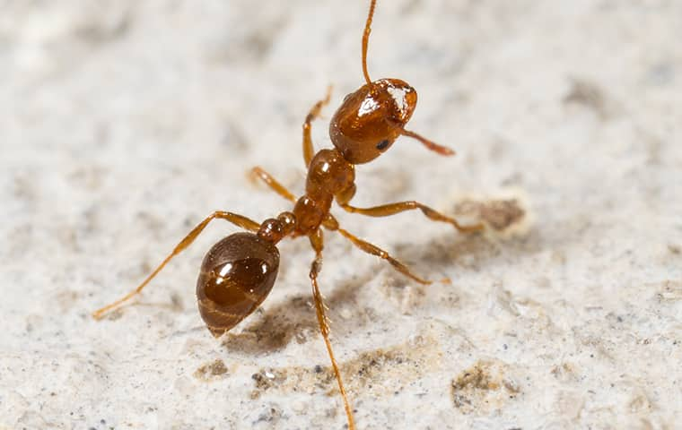 a fire ant crawling outside in florida