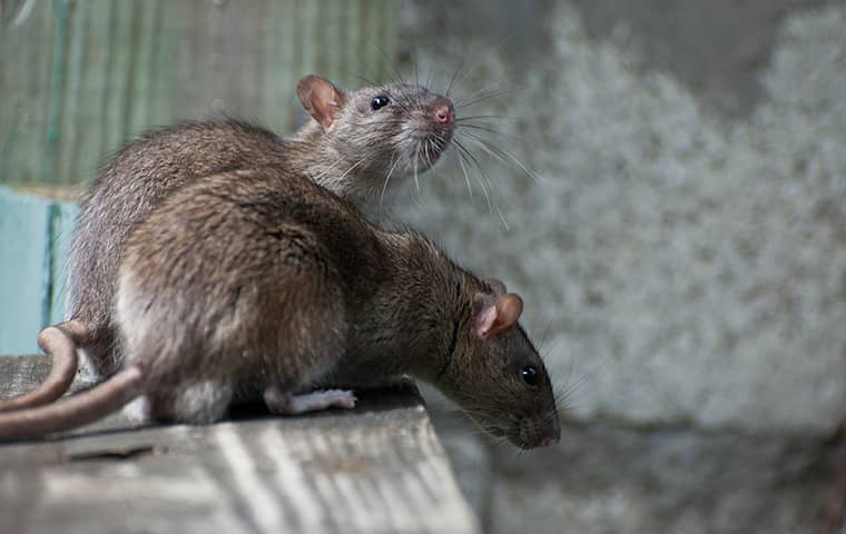 two rats on a ledge inside of a home in holt florida