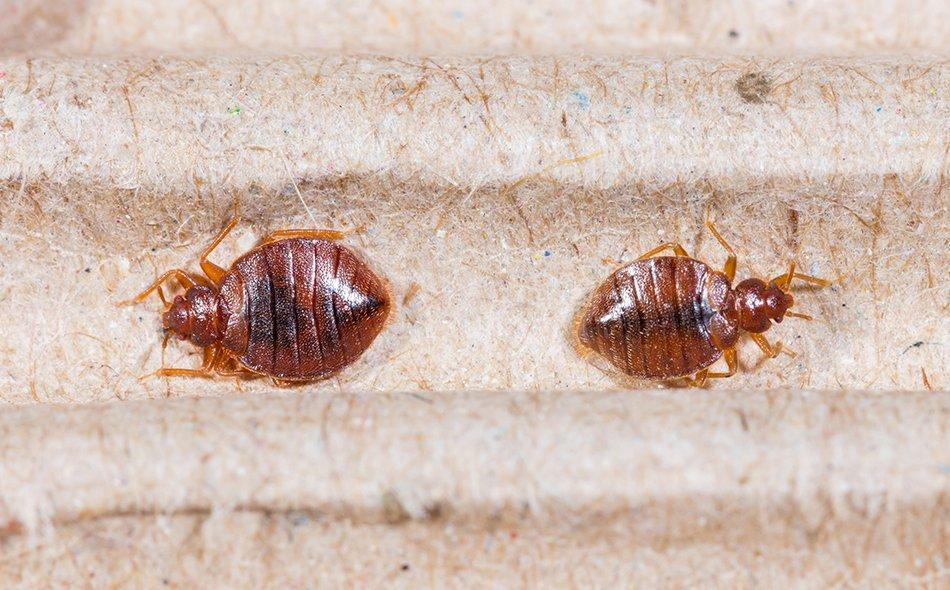 bed bugs on a mattress