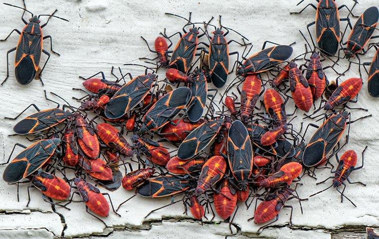 dozens of boxelder bugs on the wall of a house