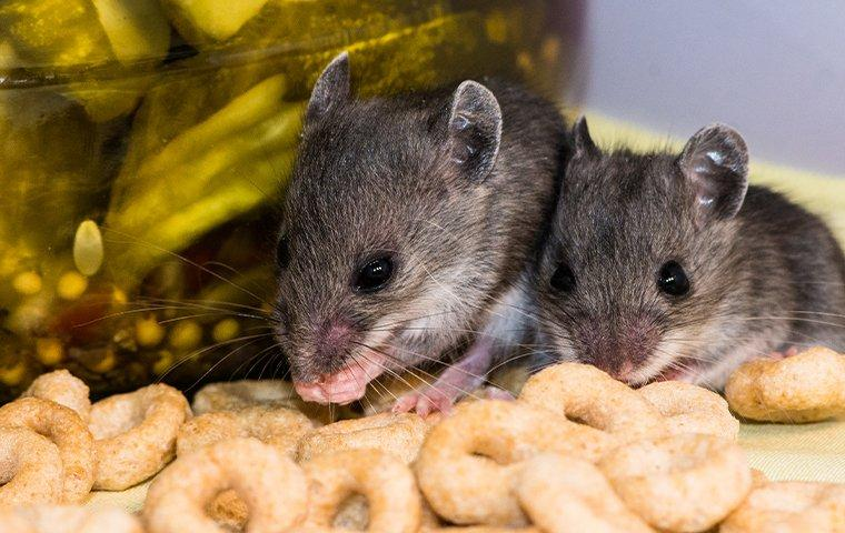 two mice in a cupboard getting in to food