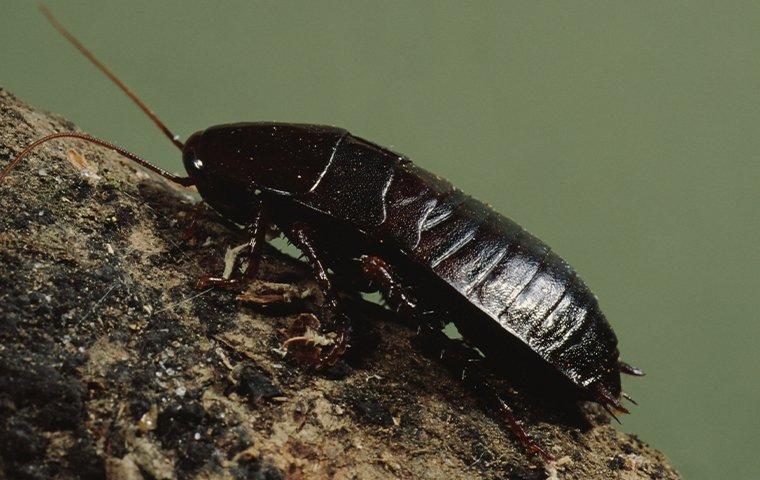 an oriental cockroach on a tree