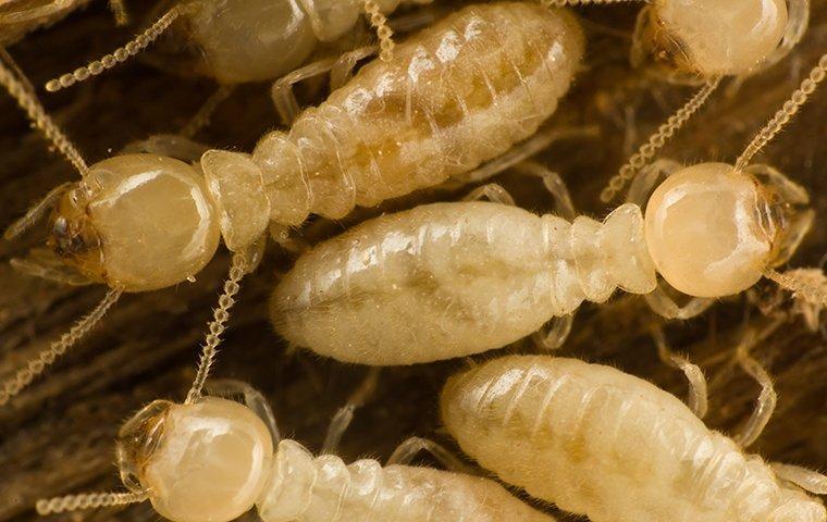 subterranean termites crawling on chewed wood