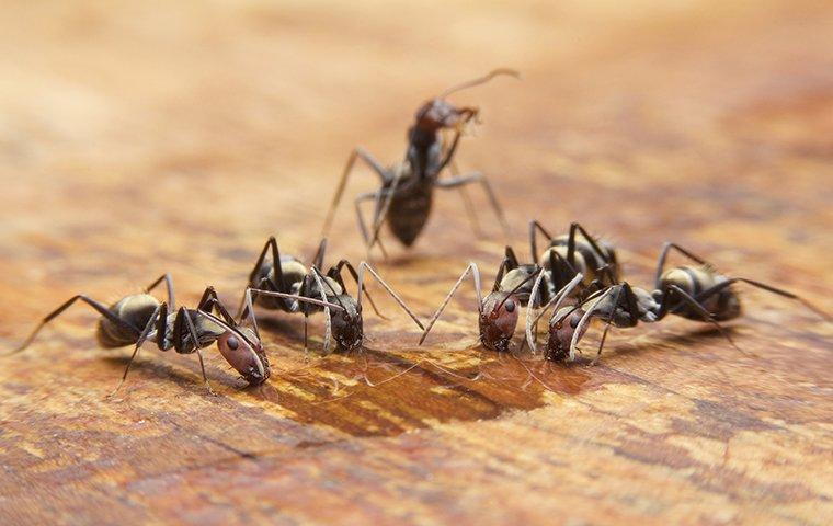 five ants crawling around on a wooden kitchen table looking for food