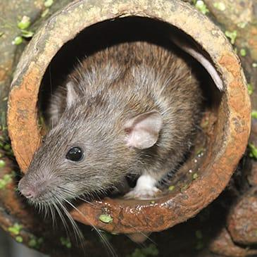 a brown rat emerging from a pipe entrance in baton rouge louisiana