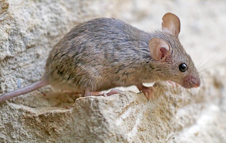 a mouse crawling near a foundation of a baton rouge louisiana building