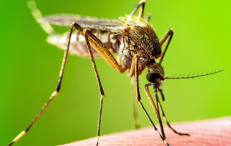 a mosquito has landed on and is biting a baton rouge louisiana resident