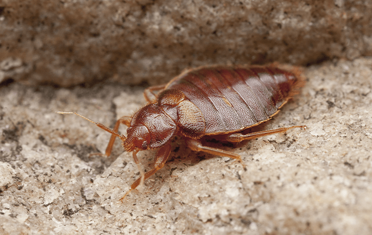 a bed bug on gravel in baton rouge louisiana