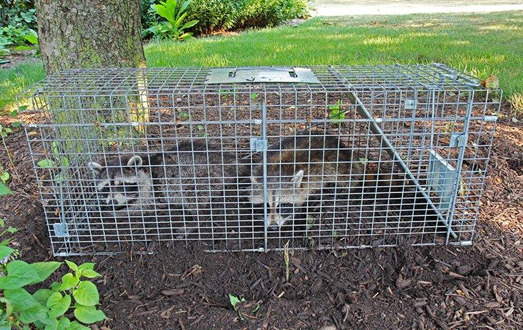 raccoons in live trap