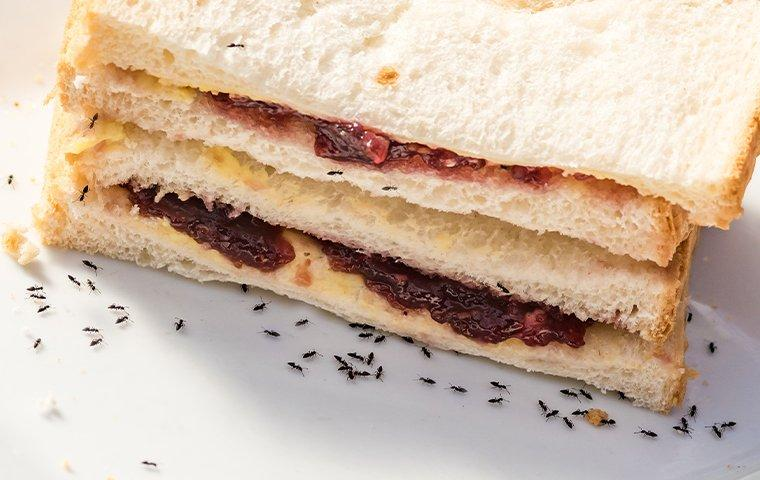 a colony of ants crawling on a sandwich on a kitchen table