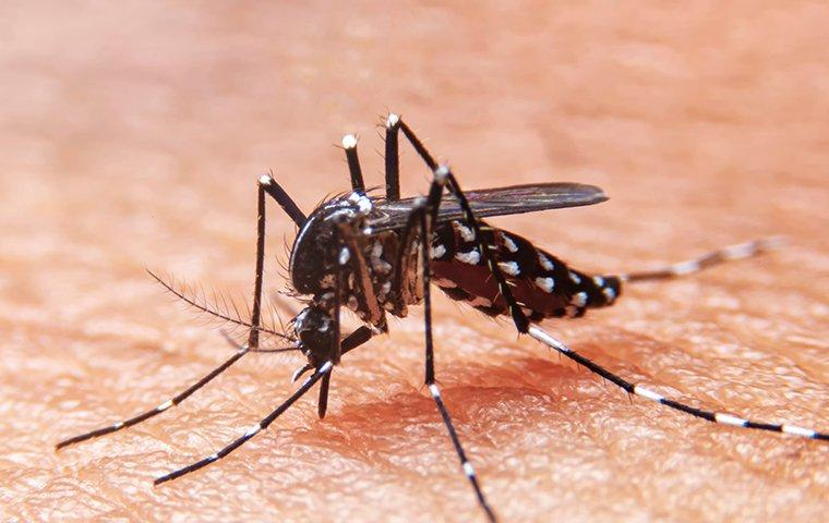 mosquito biting and sucking blood