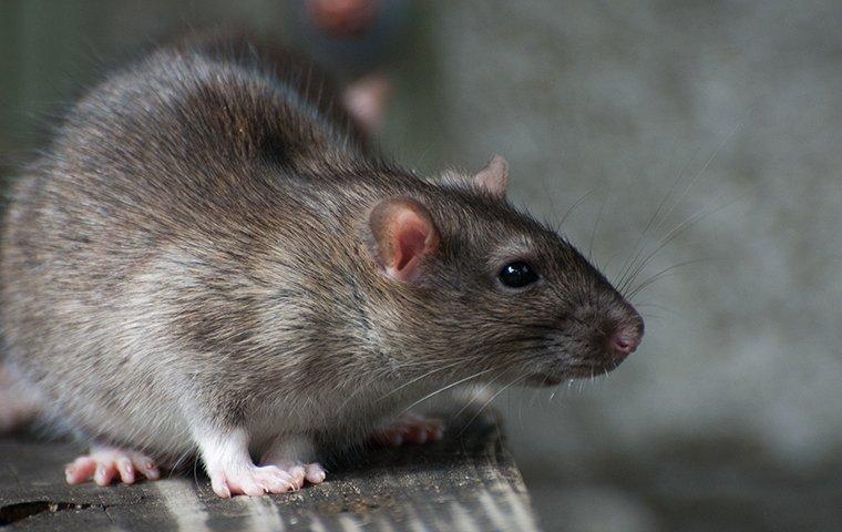 norway rat crawling in a garage