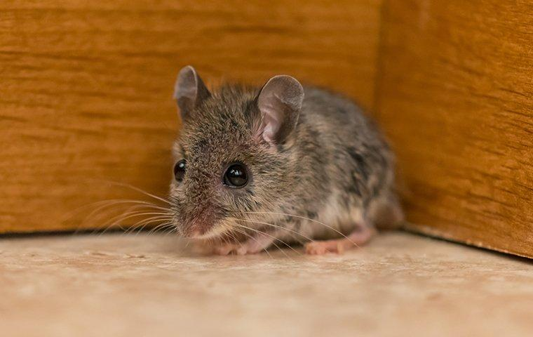 little house mouse