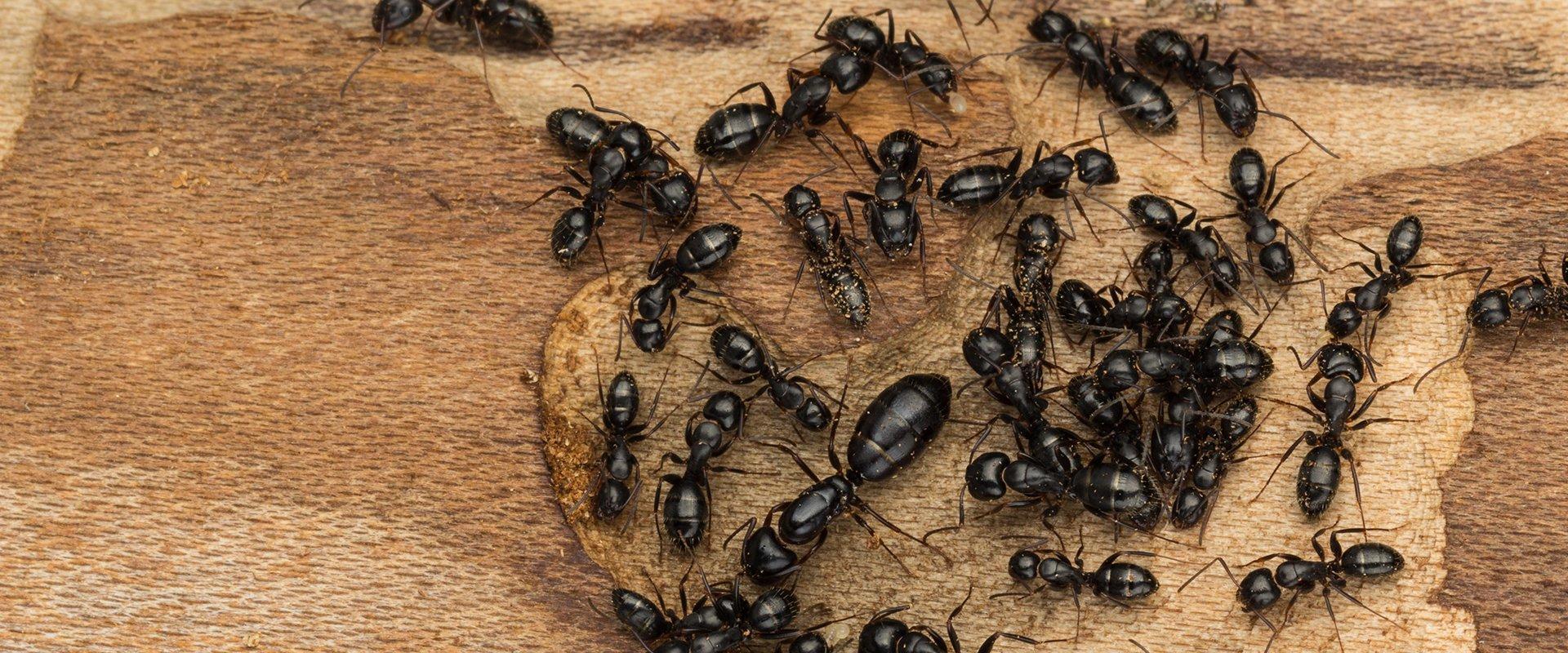 carpenter ants