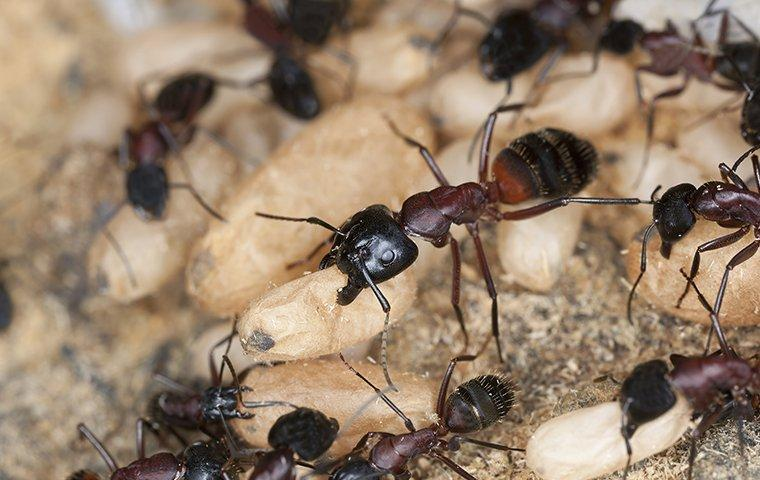 many ants crawling on their eggs