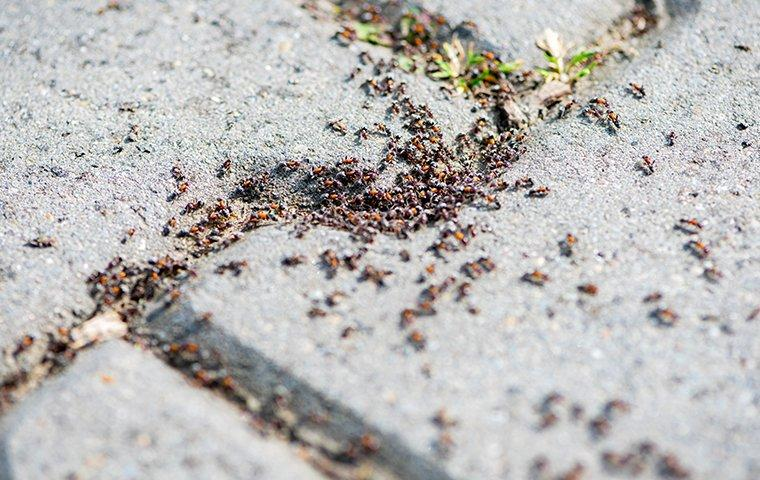 ants all over a side walk