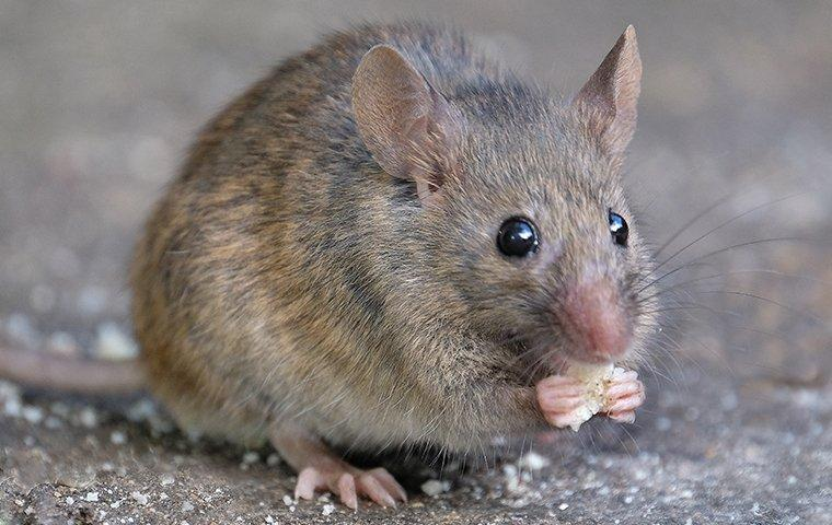 a house mouse eating scraps