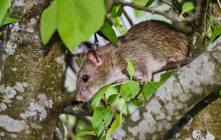 a rat in a tree