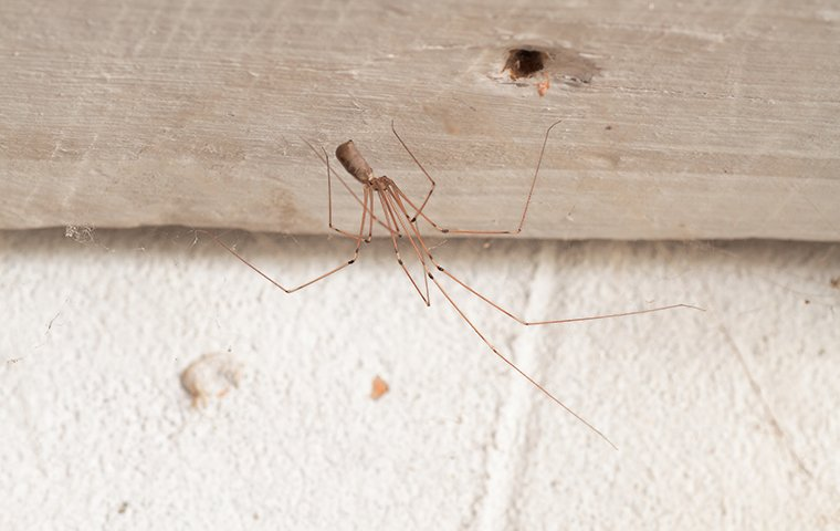 a daddy longlegs spider in a home