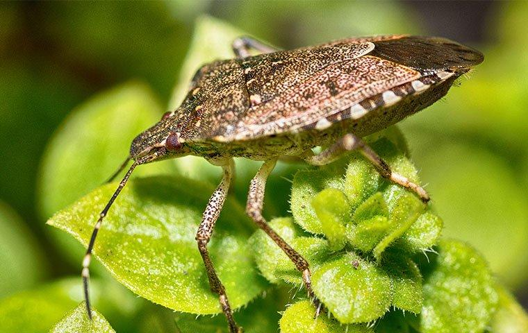 brown marmorated stink bug on plant