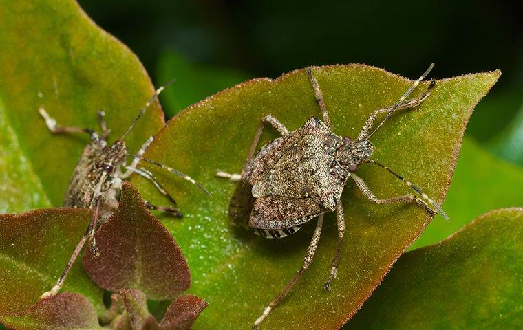 two stink bugs crawling on a plant leaf