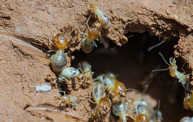 many termites crawling on damaged wood