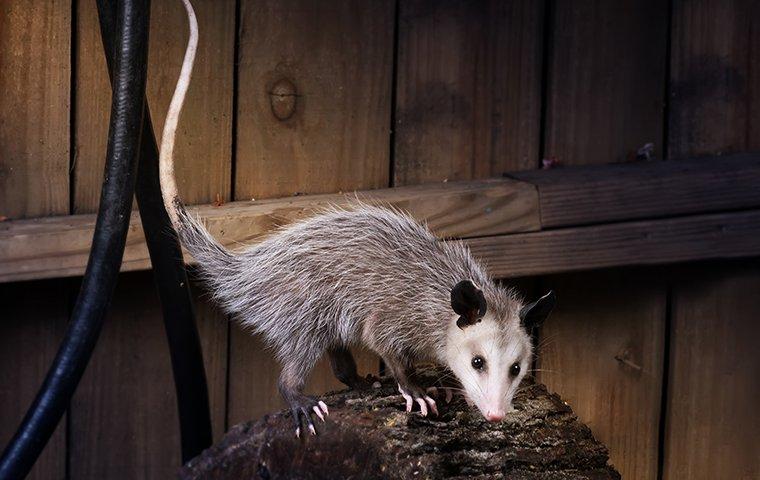 an opossum inside a garage