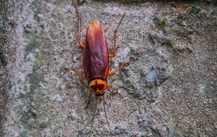 american cockroach on a foundation