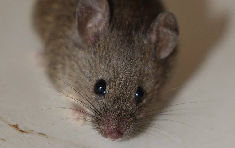 a house mouse on a kitchen plate in a home
