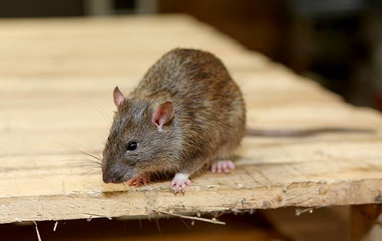 mouse on wooden table