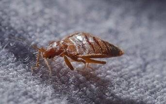 bed bug crawling on a pillow